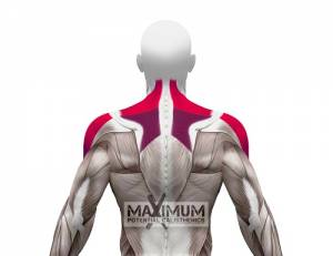 Pike Push-ups Secondary Muscles Used - Back